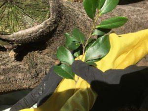 イスノキの葉と実