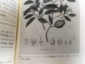 シーボルトの日本植物誌に載っているイスノキ